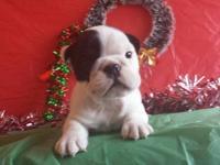 I have 1female english bulldog puppie left with full
