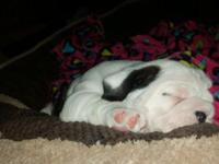 I have english bull female puppy AKC registered,