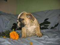 Our White and Fawn female English bulldog is now ready