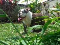 ENGLISH BULLDOG FEMALE BLUE BRINDLE 8mos /Blue