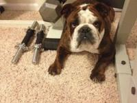 We are selling our stunning female English Bulldog. She