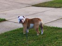White and fawn English bulldog for sale. Memphis is