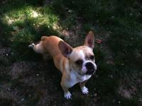 English Bulldog - Jimbo - Medium - Adult - Male - Dog
