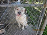 English Bulldog - Louie - Large - Adult - Male - Dog