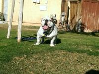 English Bulldog Male 1yr 9months old  $2000.00 Moving