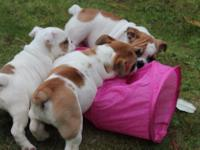 Animal Type: Dogs Stunning litter of pedigree English