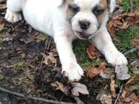 English bull dog male pup, up to date on shots , wormed