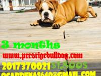 Adorable English bulldogs Male puppy,that, what a great