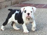 Beautiful blue pied English bulldog puppy 9 weeks and