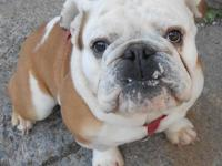 AKC REGISTERED MALE ENGLISH BULLDOG. 1 YEAR OLD.