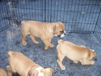 Adorable Female English Bulldog mixed with Pug puppies