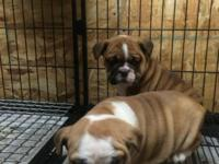 Cute Male and Female English Bulldog combined with