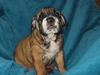 Male English Bulldog pup to add to your family. He is