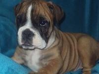 Male CKC registered bulldog pup for sale , he has been