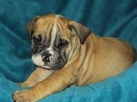 Male English Bulldog up forsale. He is registered with
