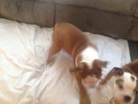 Brown and white English bulldog. NKC registered. I