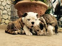 Super nice puppy english bulldog is now eight weeks and