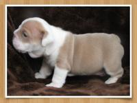 Lilac Fawn English Bulldog Pup/male Beautiful addition