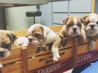 Gorgeous wrinkly blockhead bullies. :) Come see them