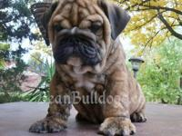 Available Now! Bean Bulldogs currently has new Champion