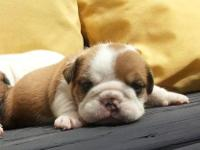 Available at Bean Bulldogs- 2 week old, AKC Champion