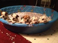 AKC Registered English bulldogs. Home raised. 3 males 1