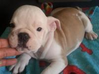 English Bulldog Puppies Readily available! The new