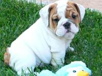 English Bulldog Puppies - A.K.C. Registered From