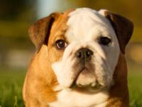 Have you always wanted a BULLDOG?? My pups are AKC