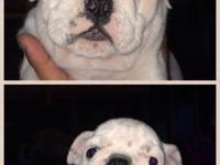 10 week aged English Bulldog Puppies looking for a