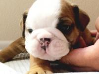 English Bulldog new puppies (AKC). 4 weeks aged since