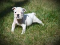 I have english bulldog puppies (1female) also have 2