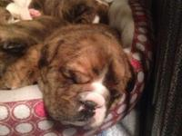 2 available male AKC English Bulldog puppies available