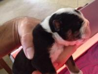 Quality English Bulldog Puppies. 4 Males & 4 Females