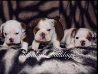 AKC Registered English Bulldog Puppies currently 6