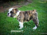 We currently have AKC Champion Sired English Bulldog