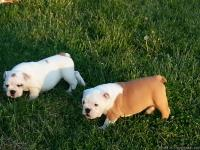 English bulldog puppies AKS Reg. 14 weeks old two
