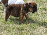 English Bulldog Puppies available for sale. This little