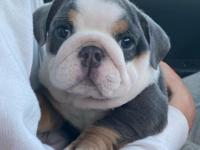 English Bulldog puppies looking for new home we have a