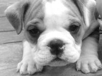 i have three beautiful purebred english bulldog puppies