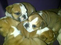ENGLISH BULLDOG PUPPIES $1800 ALL PUPPIES CARRY THE
