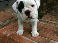 English Bulldog puppies olde, registered, lots