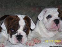 We have a litter due to be born on 6/28/13 check out