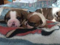 We have 9 AKC English Bulldogs. They are three