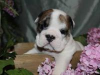 Exceptional Quality Puppies. We have several show
