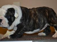 We have 3 Female English Bulldog puppies who are AKC