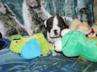English Bulldog puppies, 4 males & 2 females, Dam is