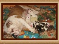 Whatabout Me Bulldogs is now offering AKC registered