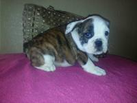 English Bulldog puppies, AKC registered. will be 9