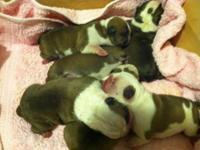 Hi I have English bulldog puppies they are 9 weeks old